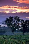 stormy sunrise over vineyards and barn near Oakville, Napa County, California