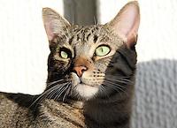 BOGOTA-COLOMBIA-9-02-2013 .Gato doméstico . Domestic cat  ( Photo / VizzorImage / Felipe Caicedo / Staff)