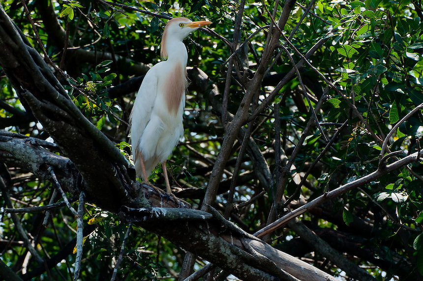 Cattle Egret (Bubulcus ibis), Blue Cypress Lake, Vero Beach, Florida, US