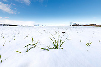 Winter wheat with snow covering - February, Lincolnshire