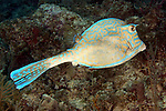 Acanthostracion quadricornis, Scrawled cowfish, Florida Keys