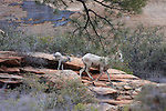 Bighorn sheep with lamb, Zion National park