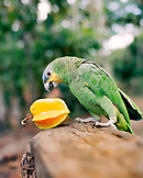 Brazil, Belem, Boa Vista, South America, green parrot with star fruit in the Amazon Jungle
