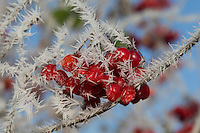 Gemeiner Schneeball, Früchte mit Reif, Raureif, Gewöhnlicher Schneeball, Viburnum opulus, European Cranberrybush, Guelder Rose, fruit, hoarfrost, hoar frost, La viorne obier