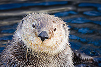 California sea otter, Enhydra lutris nereis, Monterey, California, USA,