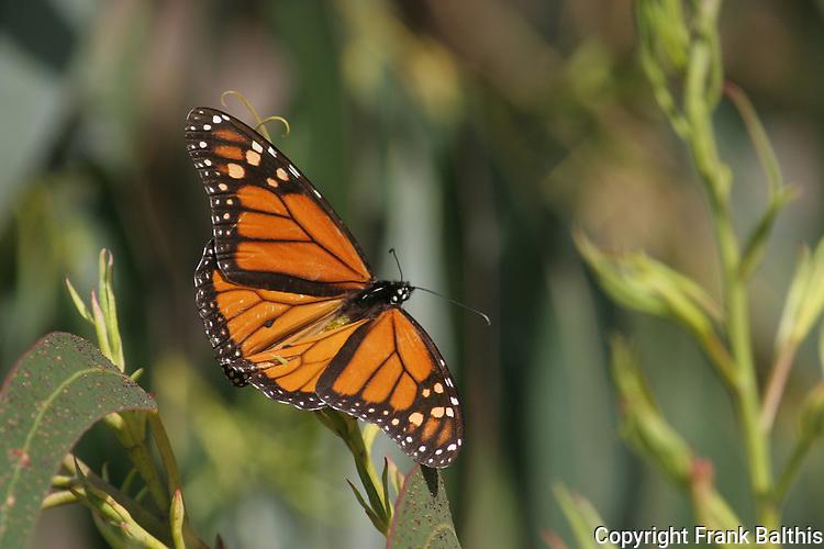 monarch butterfly on eucalyptus tree