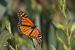 monarch butterfly on eucalyptus tree