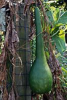 Lagenaria siceraria, long handled dipper gourd, hard shelled gourd vegetable vine