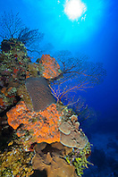 Orange Elephant Ear Sponge, Agelas clathrodes, Great Star Coral, Montastrea cavernosa, Sheet or Lettuce Coral, Agaricia sp., and Deepwater Sea Fan, Iciligorgia schrammi, thriving, West End, Grand Bahama, Atlantic Ocean