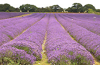 A lavender field near King's Lynn, Norfolk at the height of flowering. The field is part of a 100 acres grown by Norfolk Lavender Ltd., Caley Mill, Heacham, King's Lynn which is dried or distilled and made into a variety of products. The company organises guided tours of the fields and harvesting starts in July.