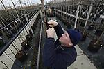 Foto: VidiPhoto<br /> <br /> OPHEUSDEN &ndash; Bij boomkwekers Gebr. Van Eldik in Opheusden worden dinsdag jonge laanbomen opgepot en buiten geplaatst. Voordeel van deze zogenaamde containerteelt is dat er minder ruimte nodig is, bomen lichter zijn en dat ze jaarrond kunnen worden geleverd. En dat is nodig, want er is weer flink vraag naar laanbomen van Nederlandse bodem. Door enorme orders vanuit China vorig jaar, is er een flink gat geslagen in de bomenvoorraad, waardoor er dit jaar ruimte is voor nieuwe opkweek. De prijzen in de sector zijn zo&rsquo;n 10 procent gestegen. Verder neemt de vraag toe doordat er veel nieuwe woonwijken worden aangelegd. Gebr. Van Eldik verwerken jaarlijks zo&rsquo;n 35.000 bomen op 7 ha. grond.
