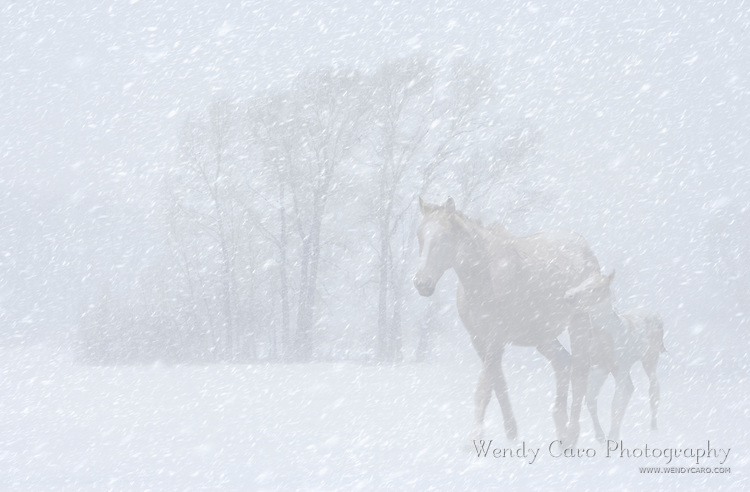 Mare leading her foal to shelter during Colorado blizzard.