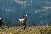 Bighorn Sheep, Glacier National Park