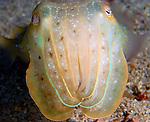 Golden Cuttlefish Face, Sepia esculenta