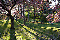 Cherry Tree (Prunus sargentii) with fresh pink flowers in Spring in New York's Central Park backlit by the rising sun.