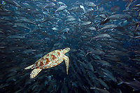Green sea turtle, Chelonia mydas, and schooling bigeye jacks, Caranx sexfasciatus.  Sipidan Island, Malaysia.<br />