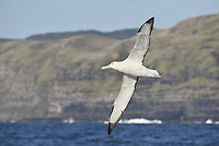 Northern Royal Albatross - Diomedea sanfordi