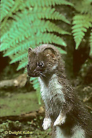 MA10-001z  Short-Tailed Weasel - ermine in brown summer coat - Mustela erminea