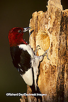 01197-002.14 Red-headed Woodpecker (Melanerpes erythrocephalus) at nest site   IL