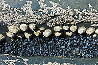 Rock pool with barnacles, mussels, limpets at Kilkee, County Clare, West Coast of Ireland