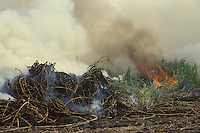 Burning sugar cane before harvesting, Maui, Hawaii, USA.
