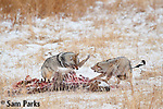 Coyotes competing for a carcass during winter. Yellowstone National Park, Montana.