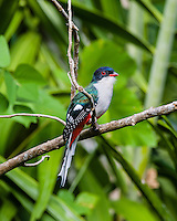 The endemic Cuban Trogon (Priotelus temnurus) is the national bird of Cuba. La Guira National Park, Cuba.