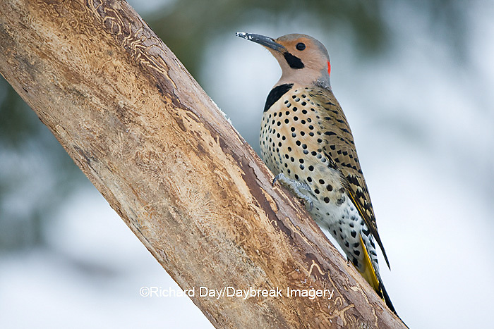 01193-01515 Northern Flicker (Colaptes auratus) male on dead tree in winter, Marion Co, IL