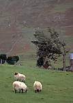 Trio of Mayo Mountain Blackface sheep on a Connemara farm.  White dots on the far hill are more sheep