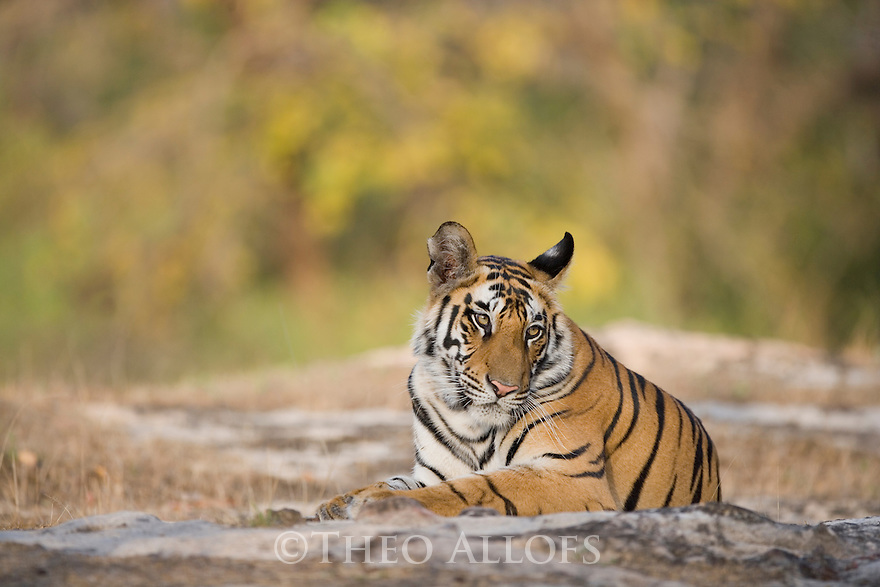 17 months old Bengal tiger cub (male) resting in open area early morning, dry season
