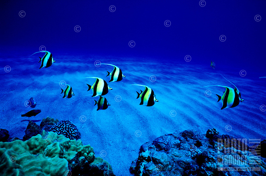 The Moorish Idol (Zanclus cornatus) is one of Hawaii's more colorful reef fishes. Hawaiian name is ( Kihikihi ).