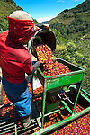 Coffee picker loads a basket full of coffee cherries into a weighing funnel sitting on a coffee farm  pickup truck.