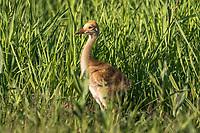 Sandhill crane colt in northern Wisconsin
