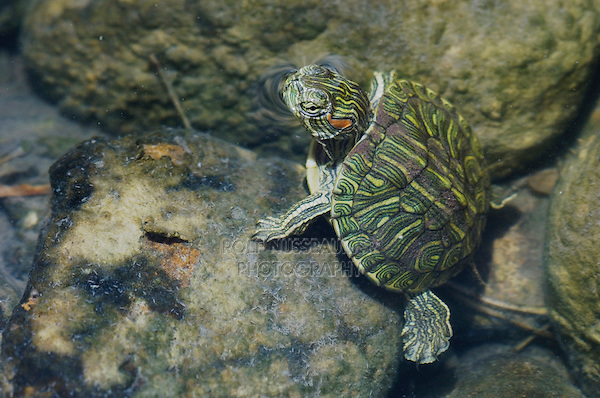 Red-eared Slider, Trachemys scripta elegans, young in creek, Willacy County, Rio Grande Valley, Texas, USA, June 2006