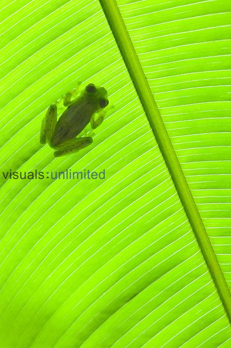 Emerald Glass Frog (Centrolenella prosoblepon), Costa Rica