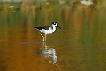 Black-necked stilt at the Salton Sea
