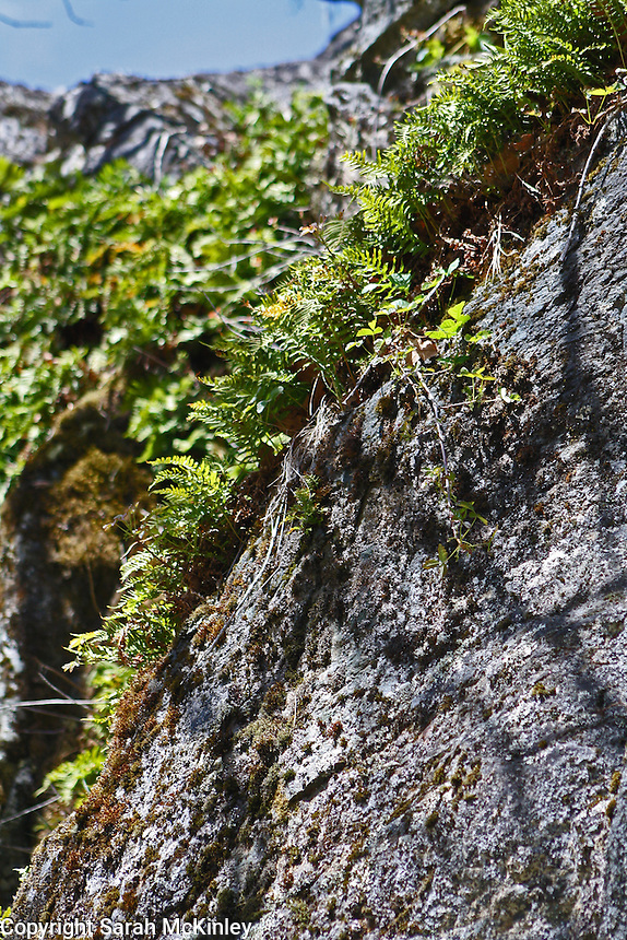 Ferns growing on the edge of a large rock on Muir Mill Road in Willits in Mendocino County in Northern California.
