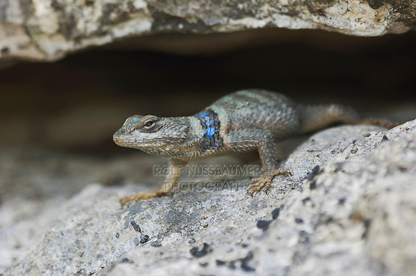 Crevice Spiny Lizard, Sceloporus poinsetti, adult, Uvalde County, Hill Country, Texas, USA