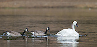 Canada geese float behind a Trumpeter swan and feed on the vegetation it brings up from the bottom of the Yellowstone River.