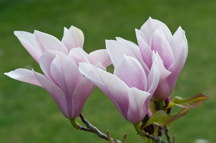 Magnolia 'Heaven Scent', early April.