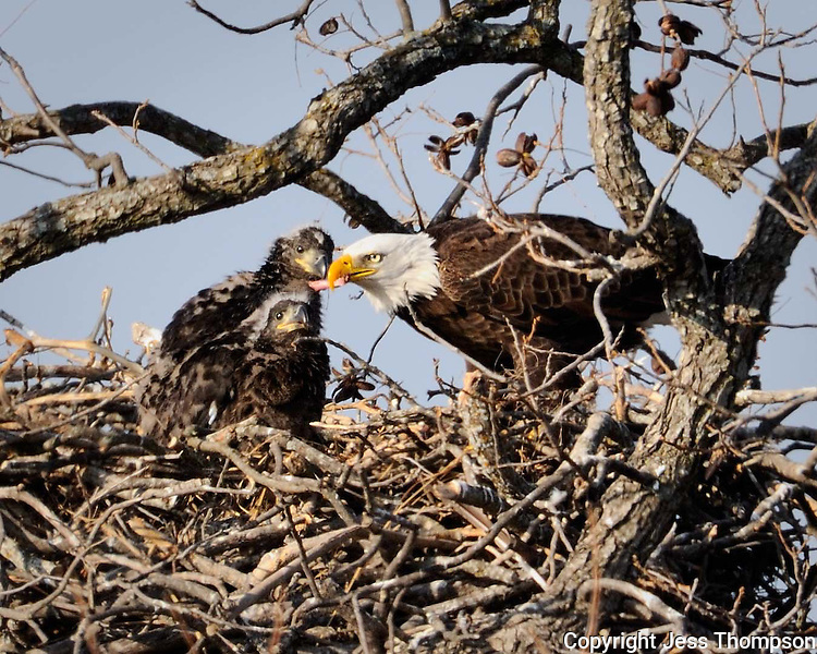 Adult bald eagle feeds two eaglets in the nest near Llano, TX.