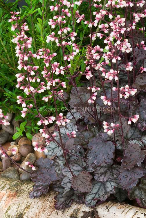 Heuchera 'Jade Gloss' in flower