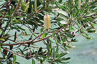A banksia bush blooming along the coast near Sydney, Australia - probably Coast Banksia, or Banksia integrifolia var. integrifolia.