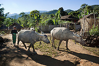 Myanmar, (Burma), Shan State, Kengtung: Water buffalo returning to Ann tribe hill village | Myanmar (Birma), Shan Staat, Kengtung: Frau des Ann Bergvolks treibt zwei Wasserbueffel zurueck ins Dorf im Shan-Hochland