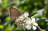 Großes Ochsenauge, Grosses Ochsenauge, Männchen beim Blütenbesuch auf Brombeere, Nektarsuche, Bestäubung, Maniola jurtina, Epinephele jurtina, meadow brown, male