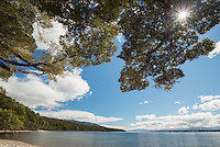 Beech tree and Lake Te Anau, Fiordland National Park, UNESCO World Heritage Area, Southland, New Zealand, NZ