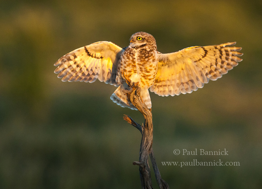 A Burrowing Owl lands upon a sagebrush snag from where he will hunt. (Washington)
