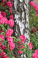 Blooming rhododendron and Alder tree. Crystal Gardens. Portland Oregon