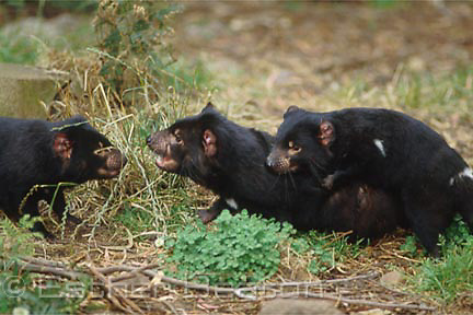 Tasmanian Devils (Sarcophilus harrisii) play-fighting. Trowunna Wildlife Park, Mole Creek, Tasmania