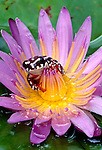 Reed frog on water lily flower, Okavango Delta, Ngamiland, Botswana